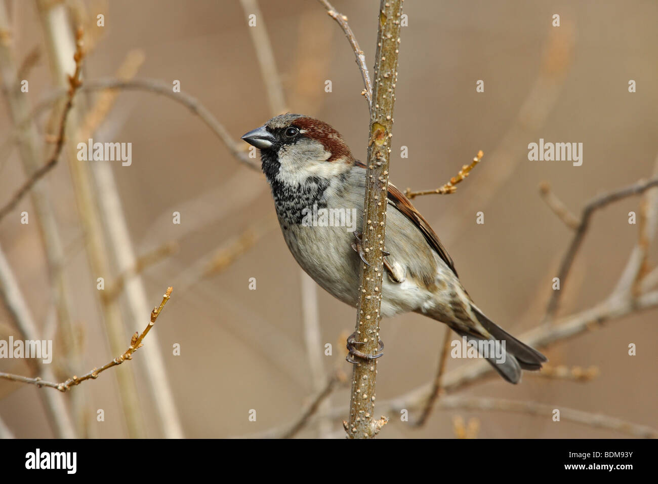 House Sparrow (Passer domesticus domesticus) on tree - Stock Image