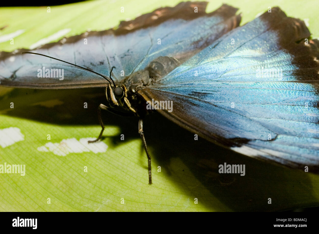 Blue morpho butterfly on green leaf close up of eye and antennae - Stock Image
