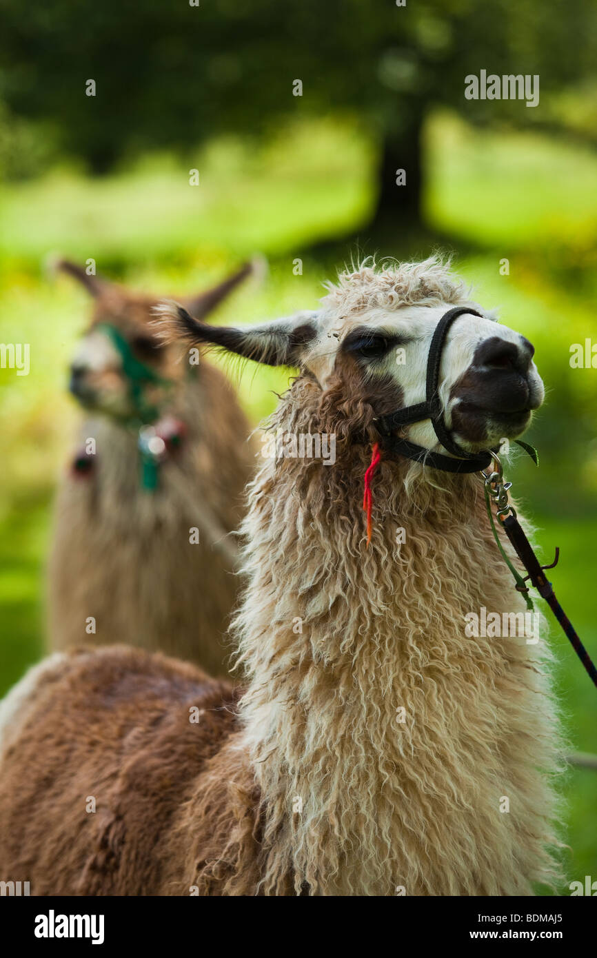 Llamas in the morning mist Brevard, NC in the Blue Ridge mountains of western North Carolina. - Stock Image