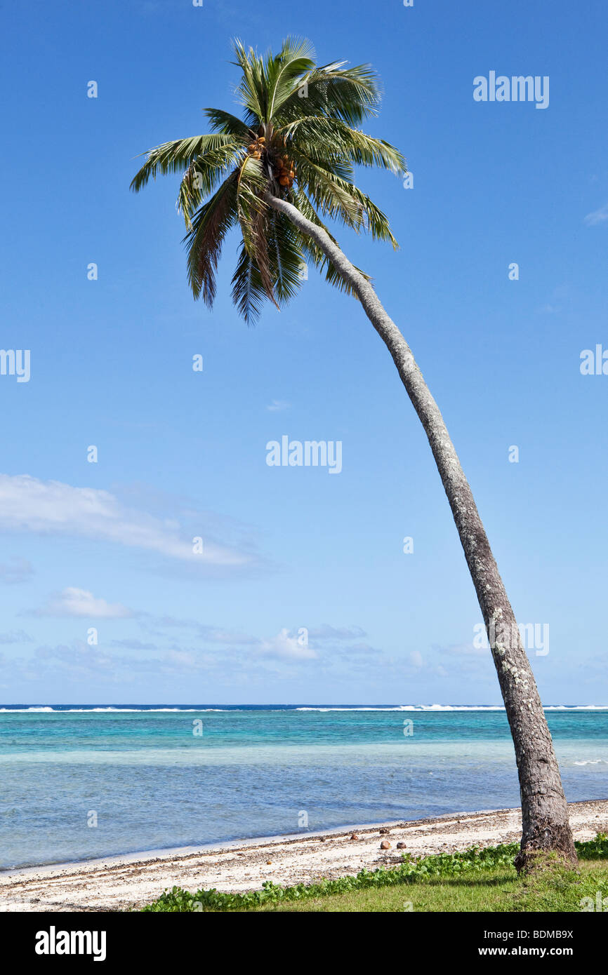 a leaning palm tree on a beach on rarotonga in the cook islands in