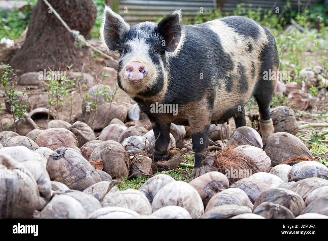 A tethered pig on Rarotonga in The Cook Islands - Stock Image