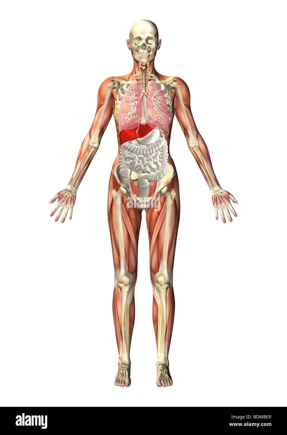 Human Anatomy Illustration Showing Stock Photo 25648975 Alamy