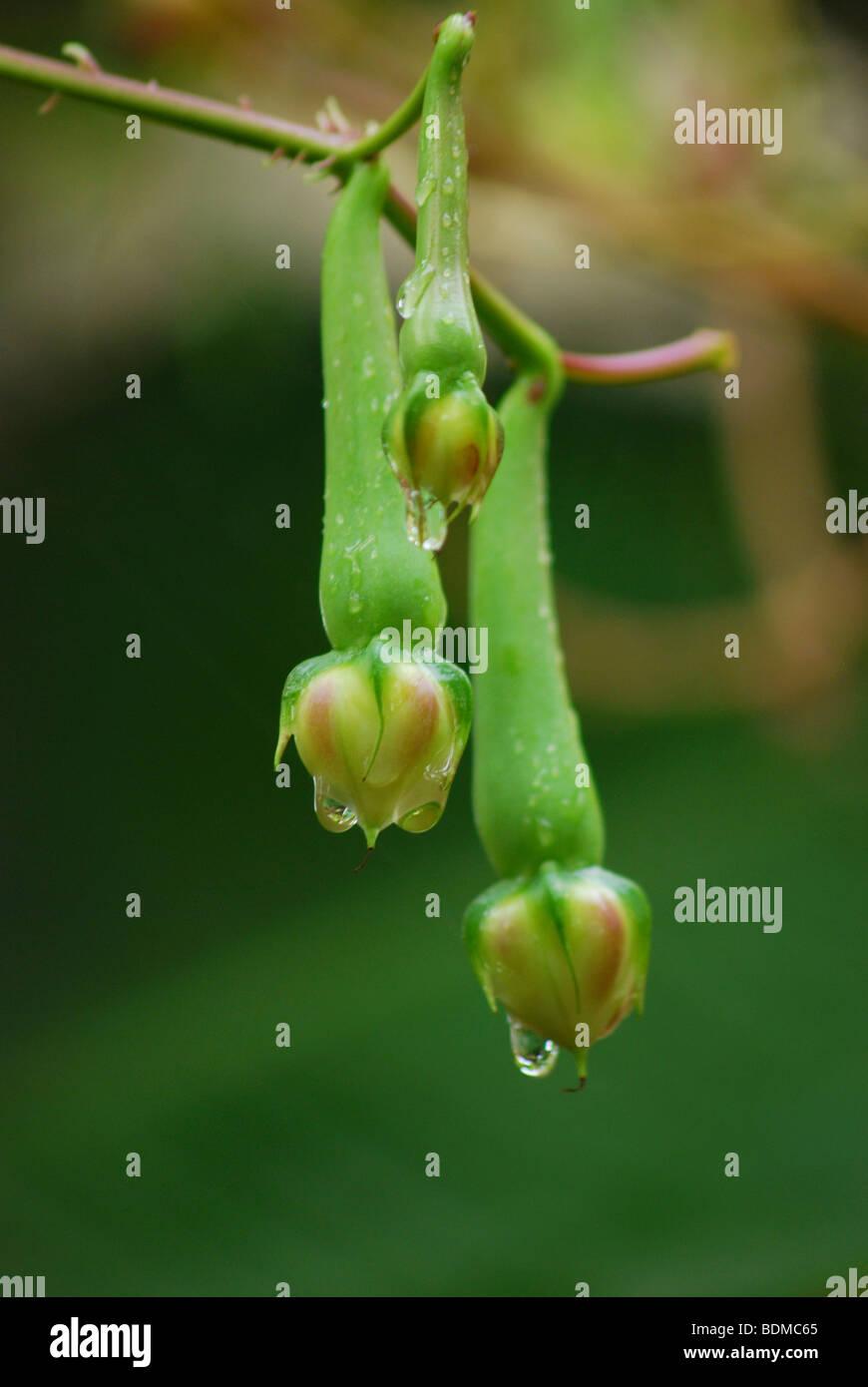 nithyavazhuthana(small brinjal) - Stock Image