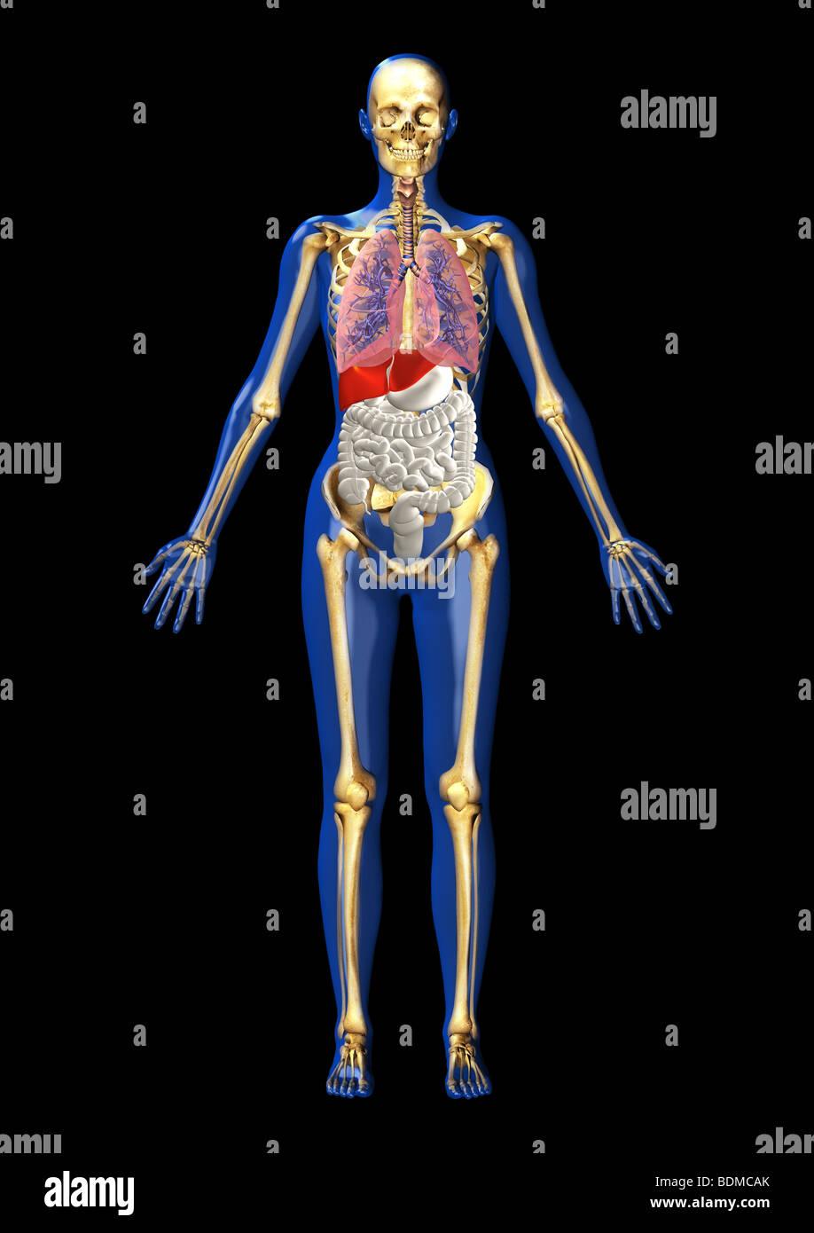 human anatomy illustration showing - Stock Image
