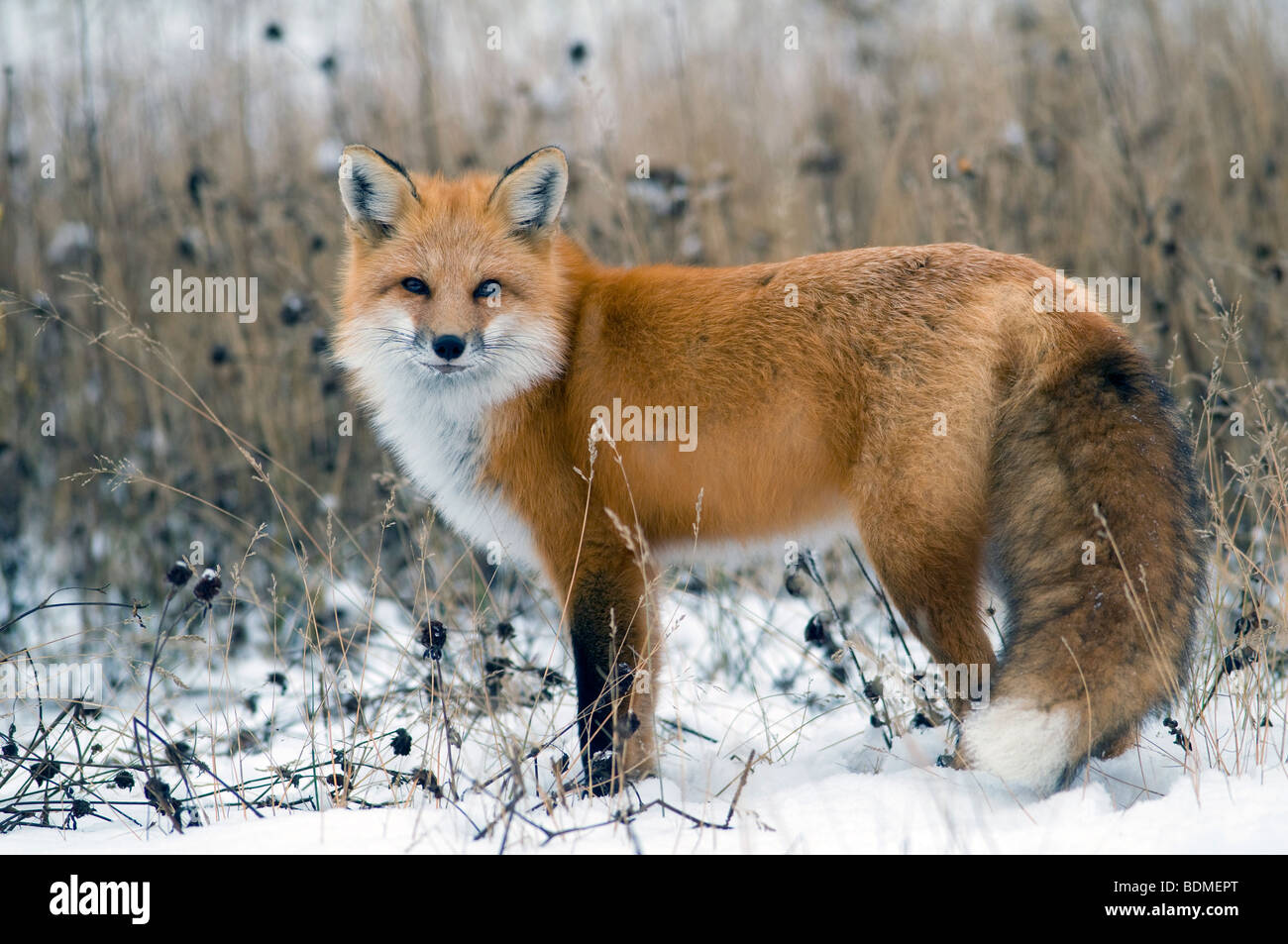 Red Fox (Vulpes vulpes), North America, by Dominique Braud/Dembinsky Photo Assoc - Stock Image
