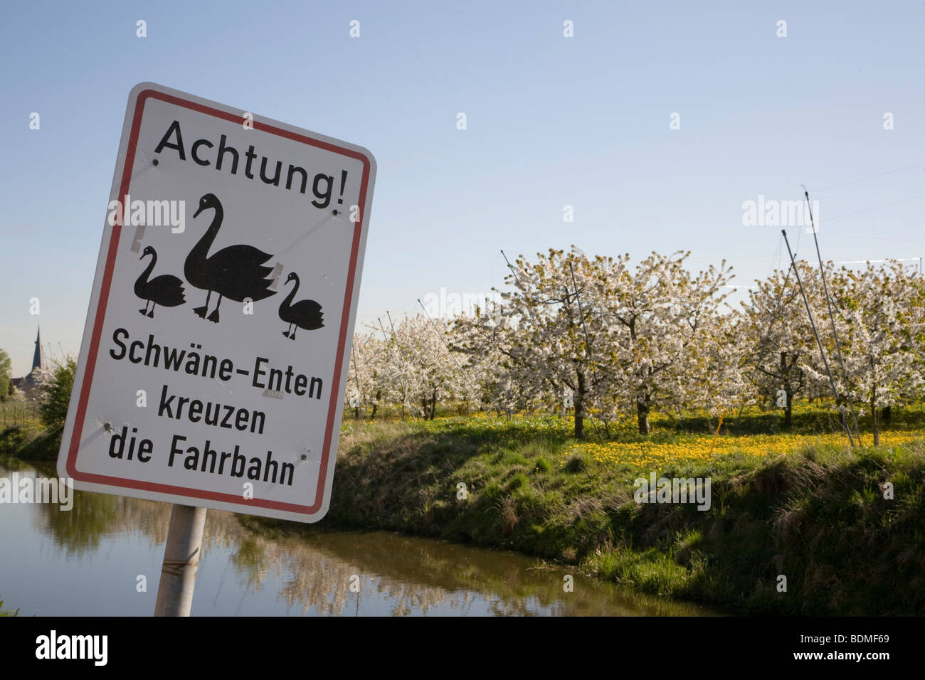 Sign in German 'Attention! Swans - ducks crossing the road', blossoming cherry trees, Altes Land region, - Stock Image