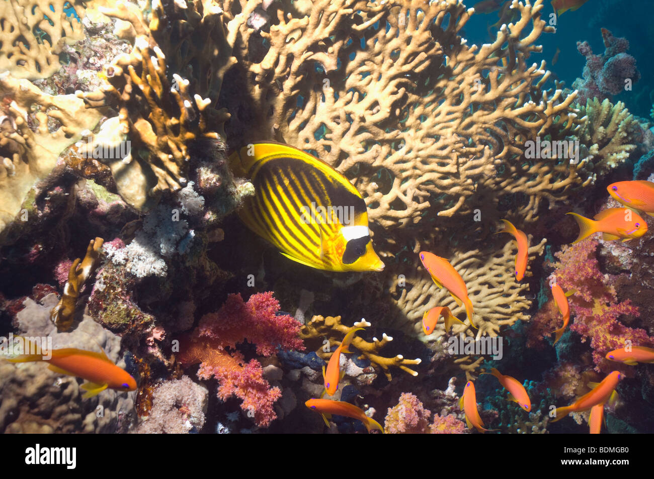 Red Sea raccoon butterflyfish (Chaetodon fasciatus) with Lyretail anthias and fire coral. Egypt, Red Sea. - Stock Image