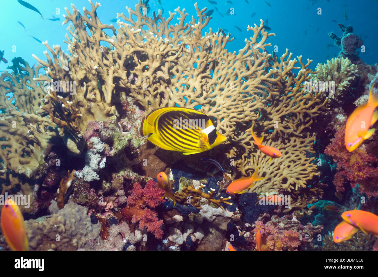 Red Sea raccoon butterflyfish (Chaetodon fasciatus) on coral reef with fire coral. Egypt, Red Sea. - Stock Image