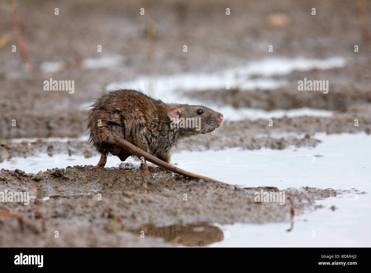 Brown rat, Rattus norvegicus, captive, August 2009 - Stock Image