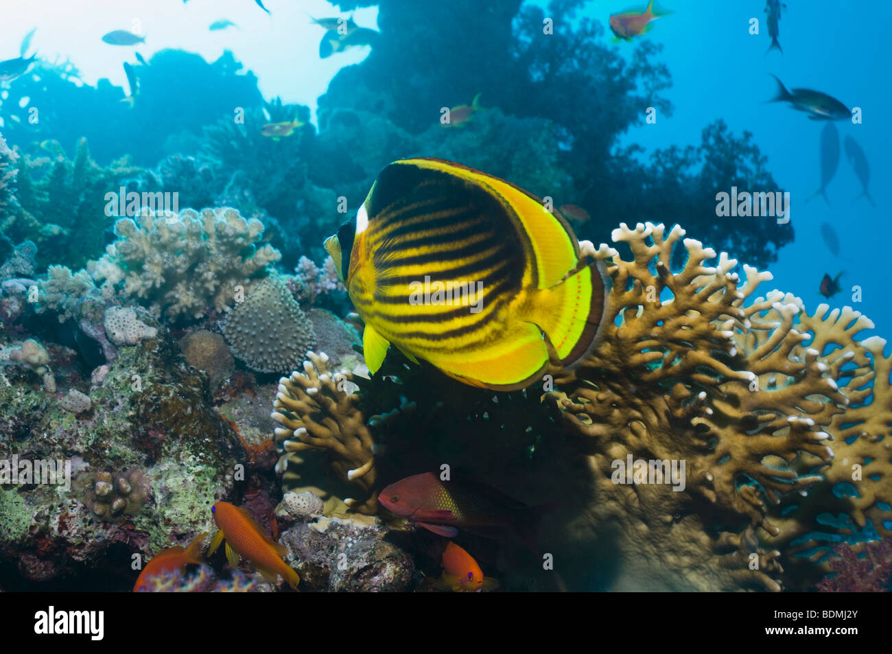 Red Sea raccoon butterflyfish (Chaetodon fasciatus) on coral reef with fire coral. Egypt, Red Sea. (Digital capture). - Stock Image