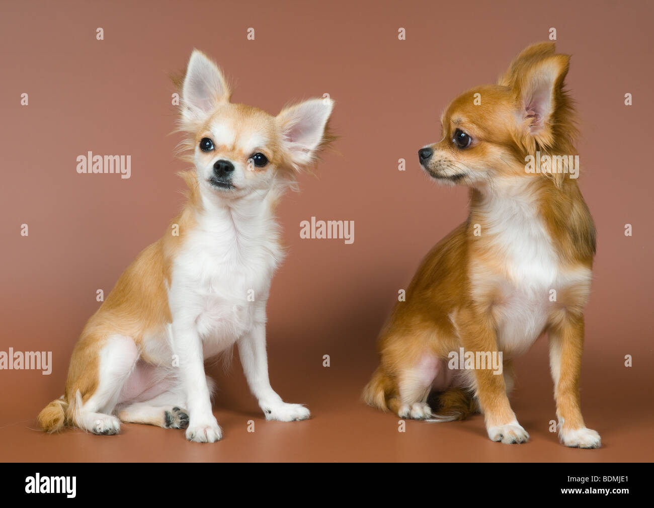 Two puppies chihuahua in studio - Stock Image