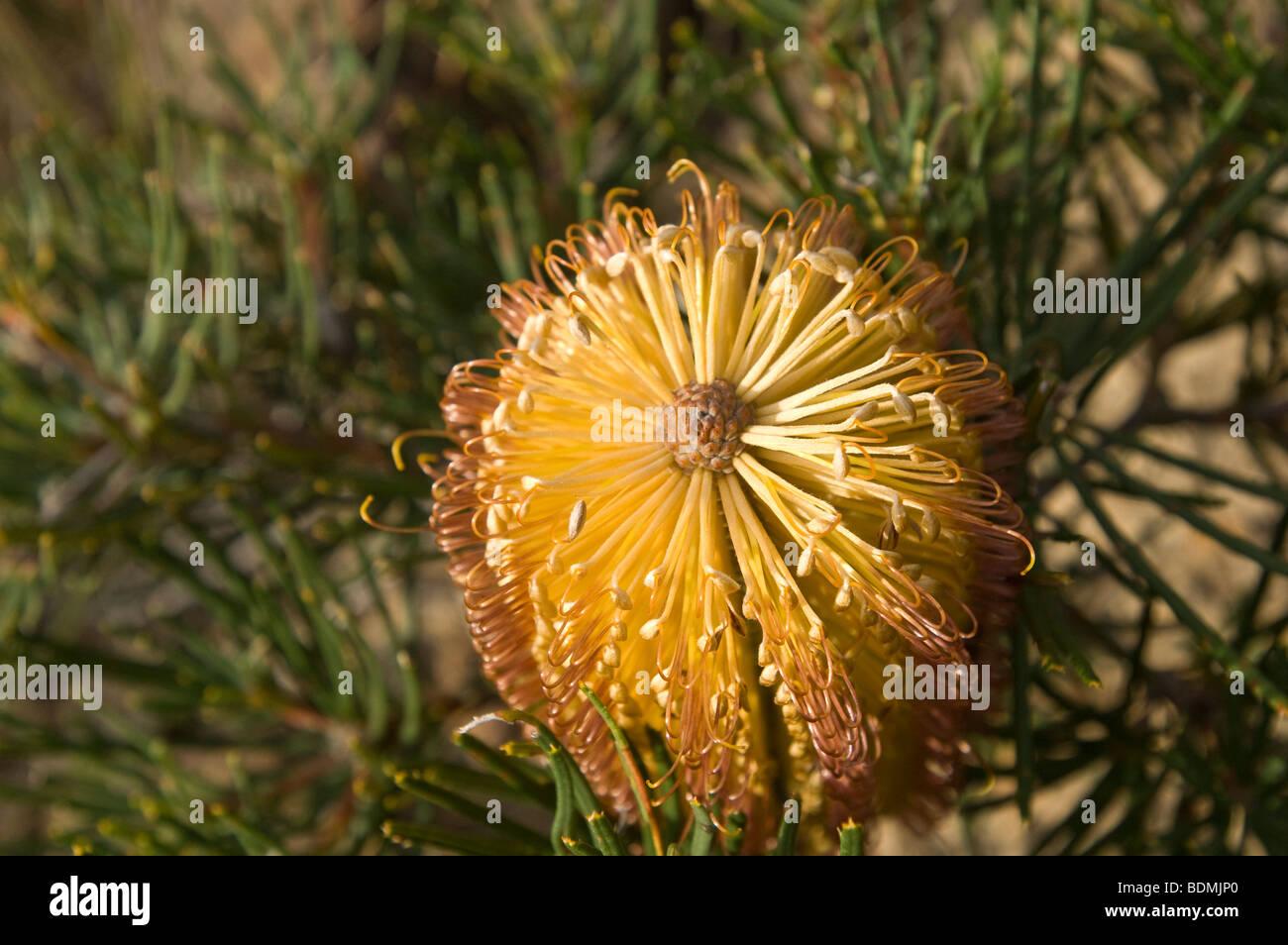 Heath Banksia flower (Banksia ericifolia), Blue Mountains National Park, New South Wales, Australia - Stock Image