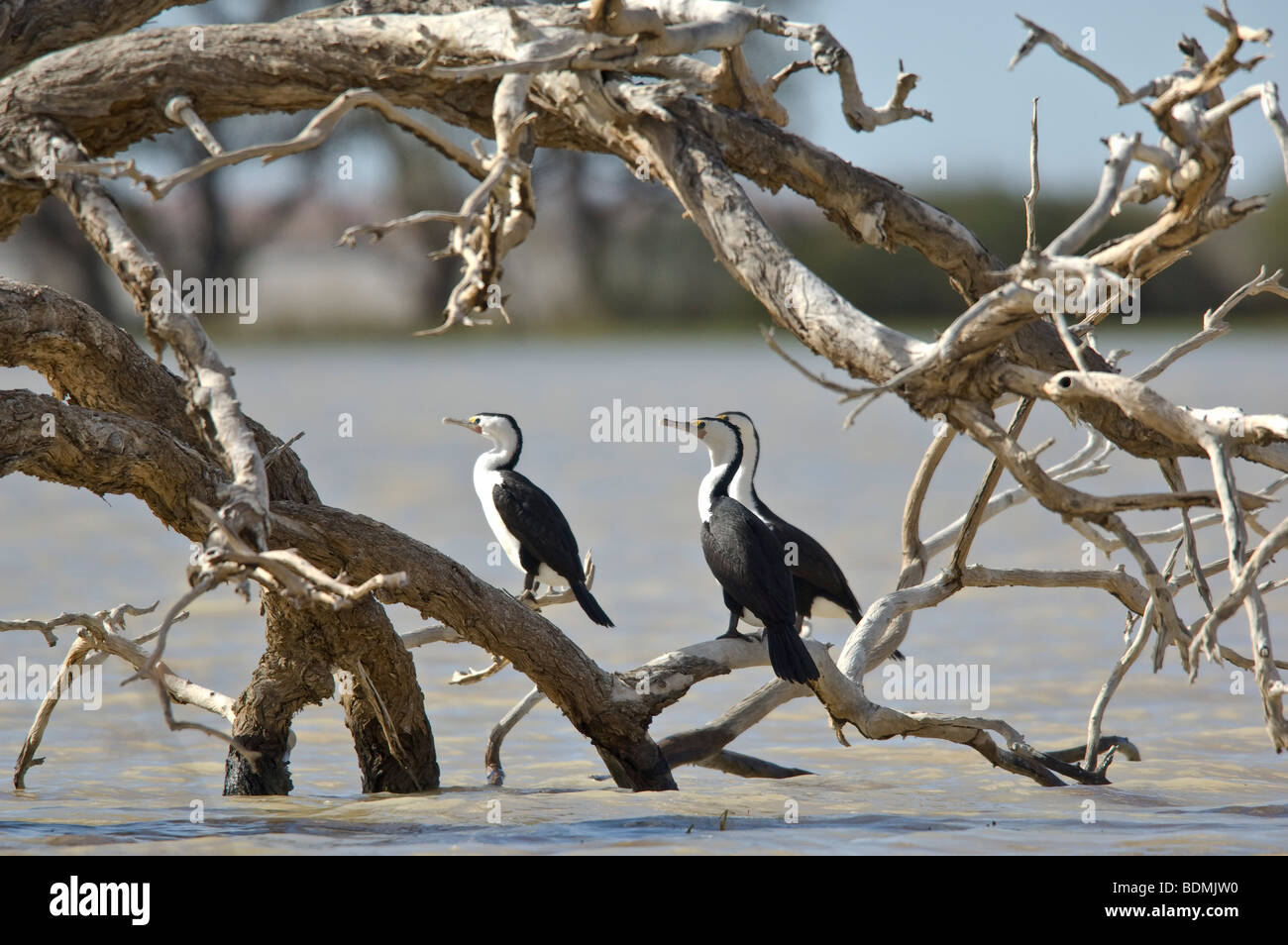 Pied Cormorants, Coongie Lake, South Australia - Stock Image