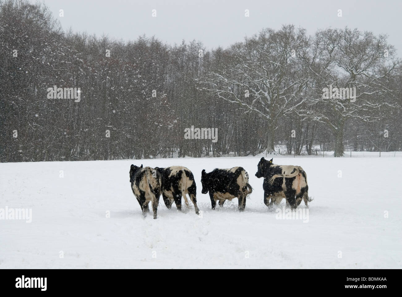 Christmas card snowy scene with cows galloping in snow on farmland ...
