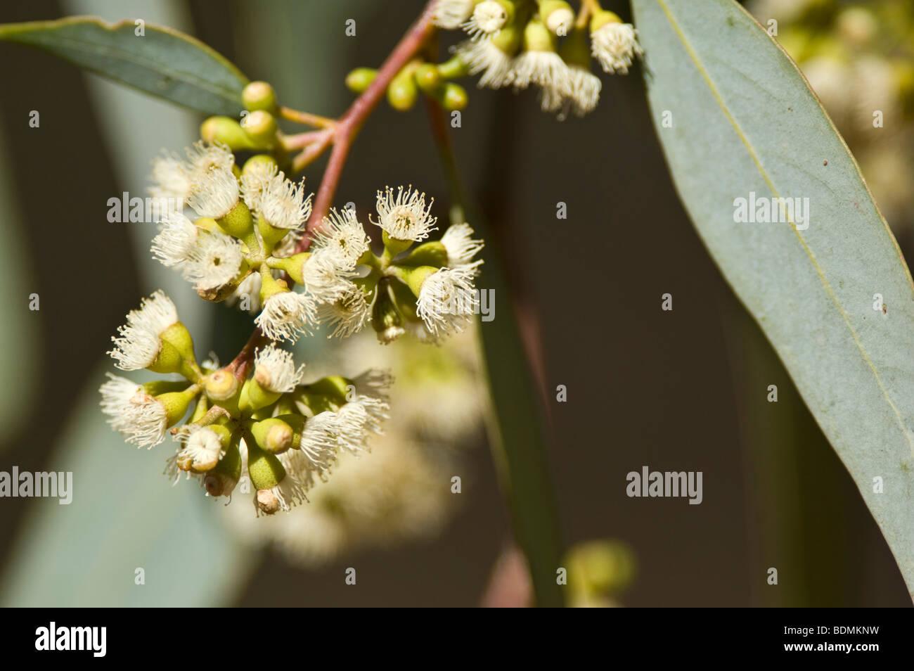 Coolibah flowers, Eucalyptus microtheca, Darling River, Kinchega National Park, New South Wales, Australia - Stock Image