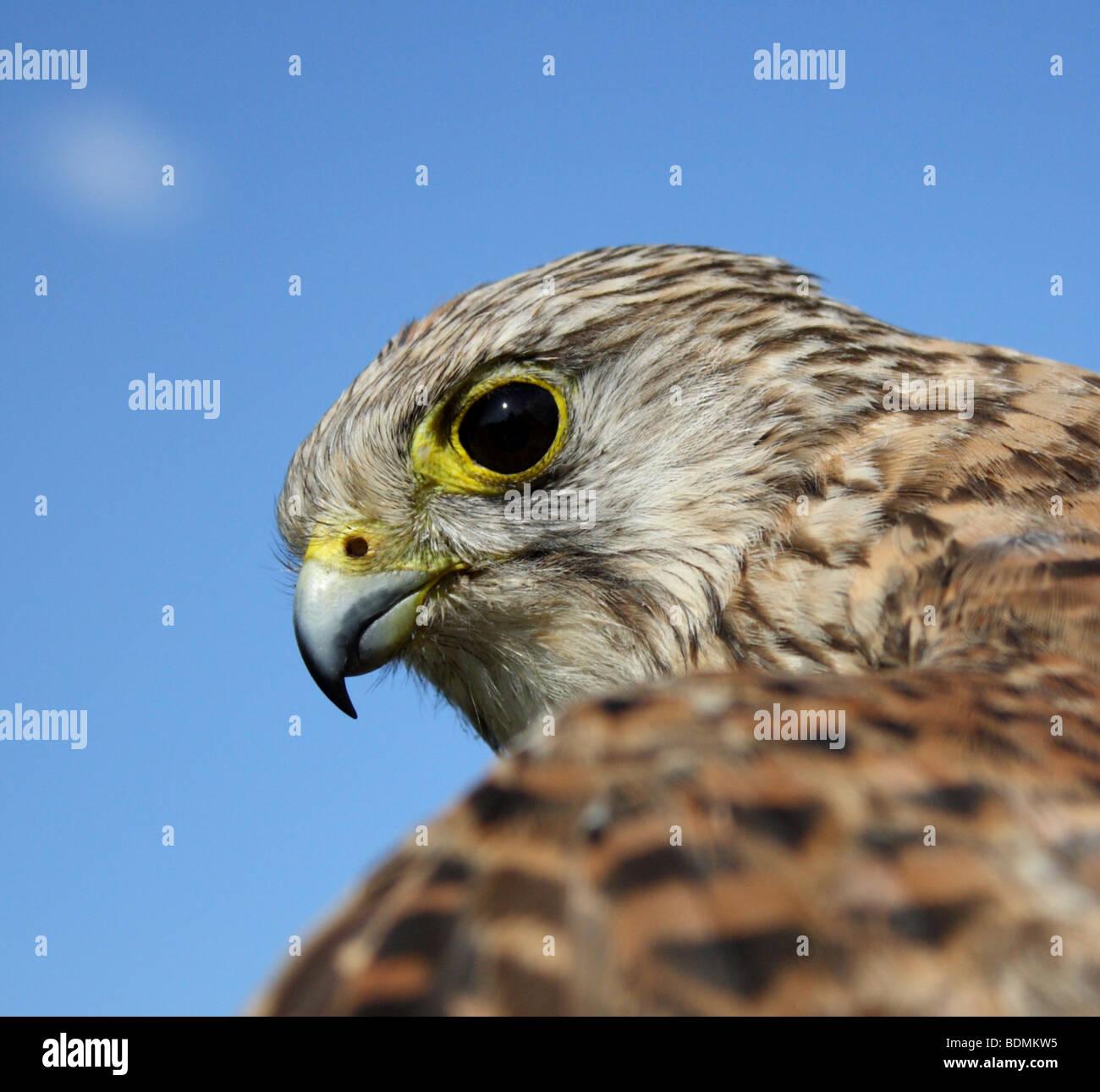Young Common Kestrel (Falco tinnunculus), UK 2009 - Stock Image