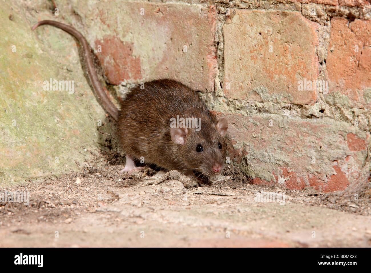 Brown rat, Rattus norvegicus, captive, August 2009 - Stock Image