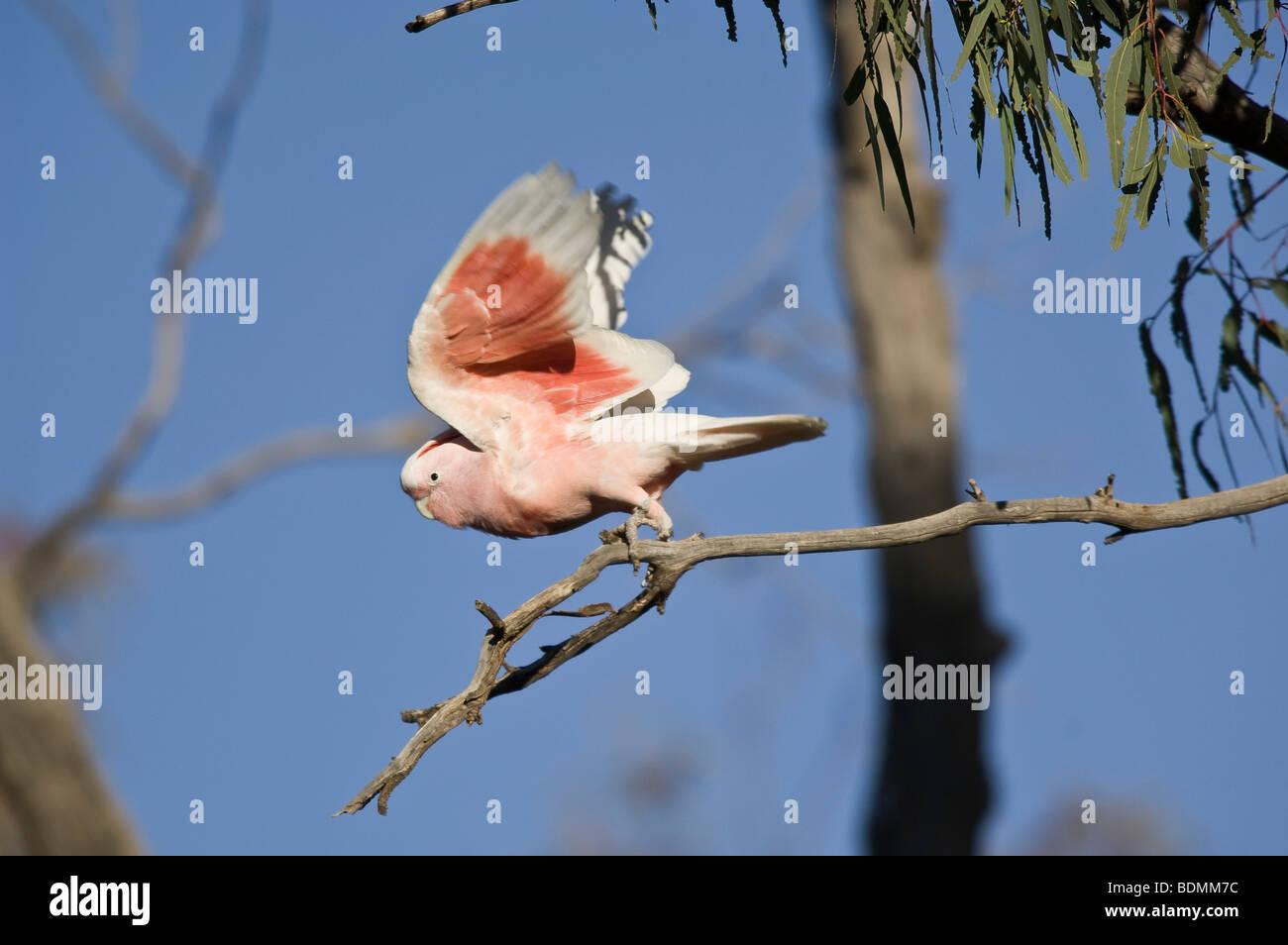 Pink Cockatoo, Cacatua leadbeateri, New South Wales, Australia - Stock Image
