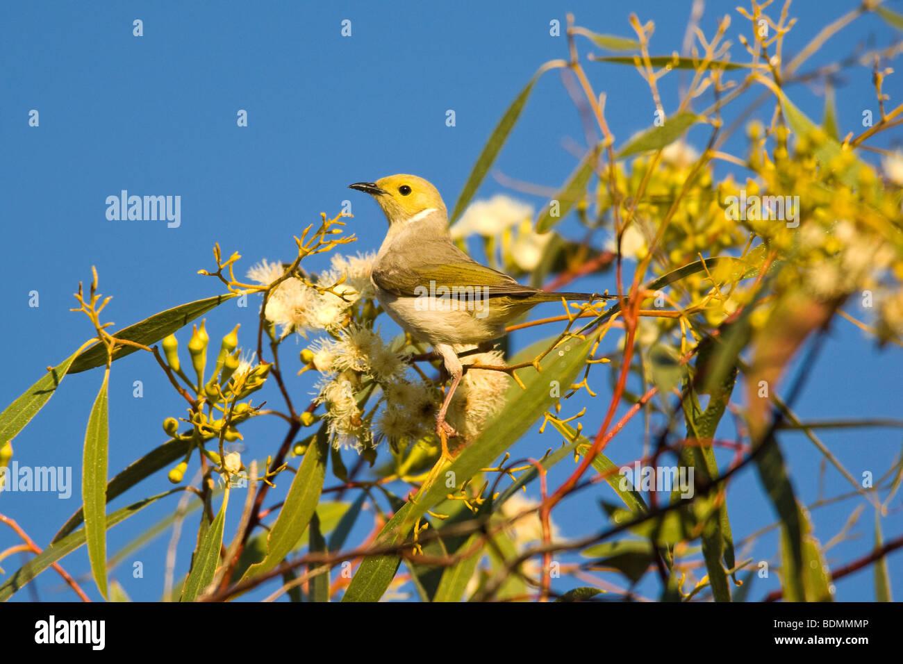 White-plumed Honeyeater, Wanaaring, New South Wales, Australia - Stock Image