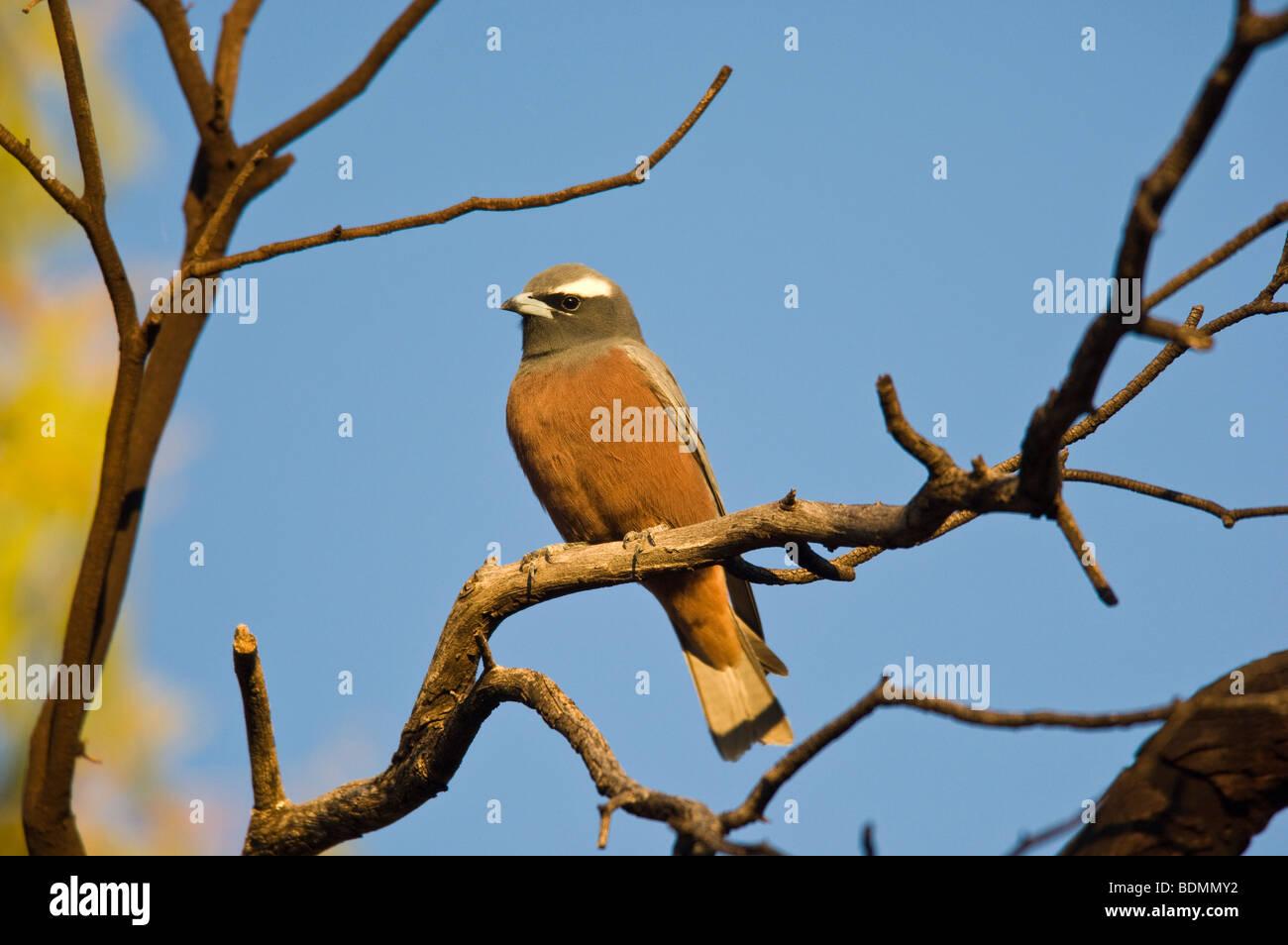 White-browed Woodswallow, Wanaaring, New South Wales, Australia - Stock Image
