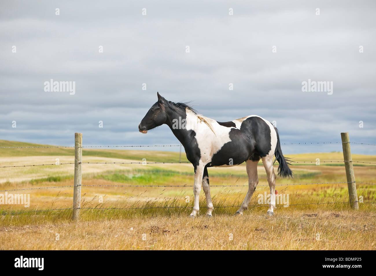 One horse, prairie pasture, Big Muddy Badlands, Saskatchewan, Canada. - Stock Image