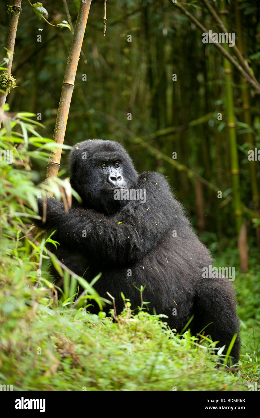 Mountain gorilla, Gorilla gorilla berengi, Volcanoes National Park, Rwanda - Stock Image