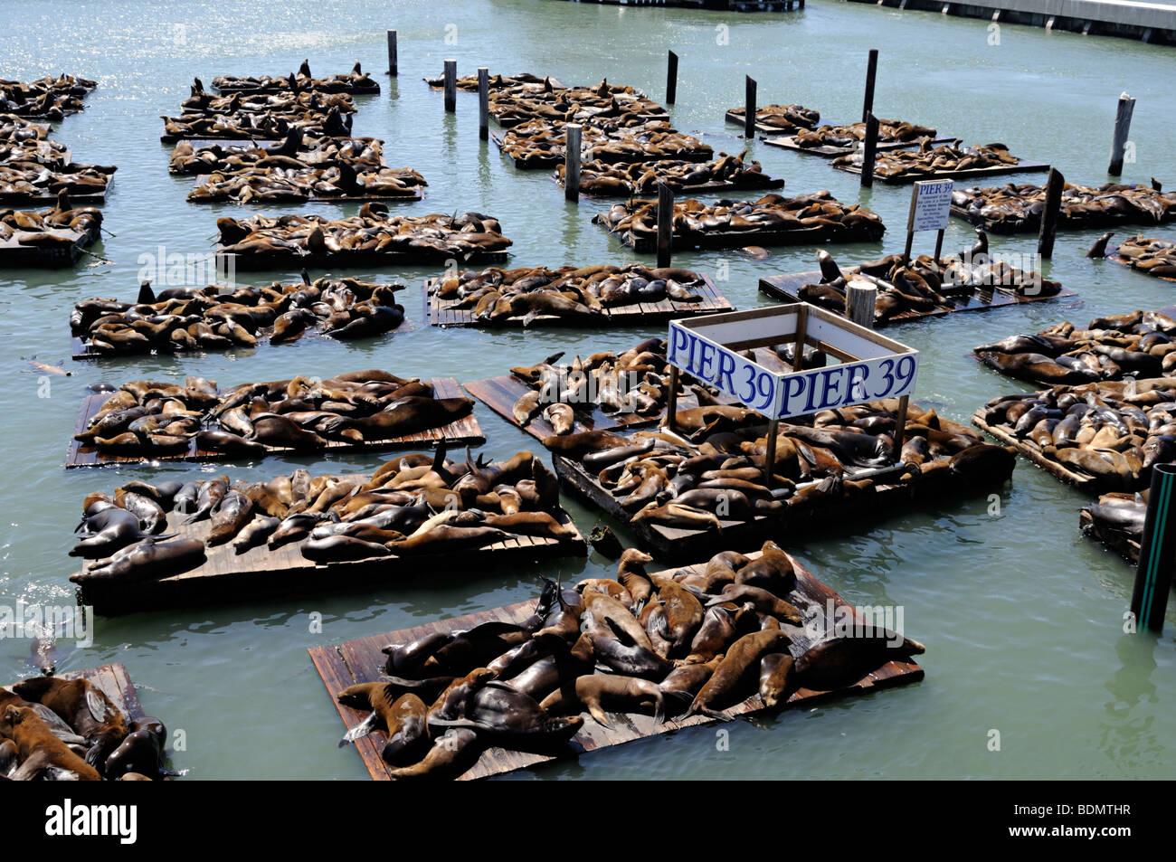 Seals At Pier 39 Fisherman S Wharf San Francisco Stock Photo Alamy