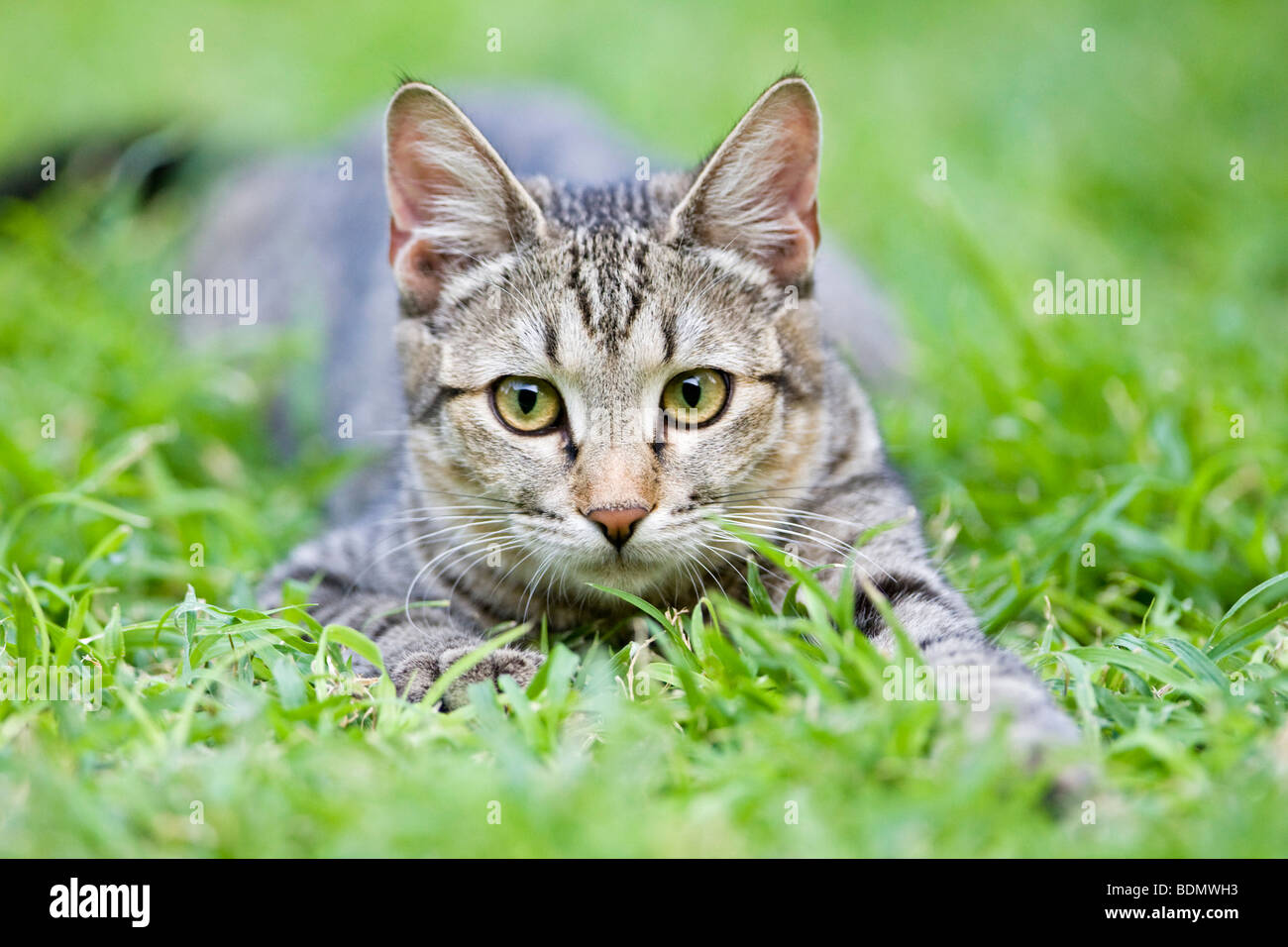 Striped cat in grass, Botswana, Africa - Stock Image