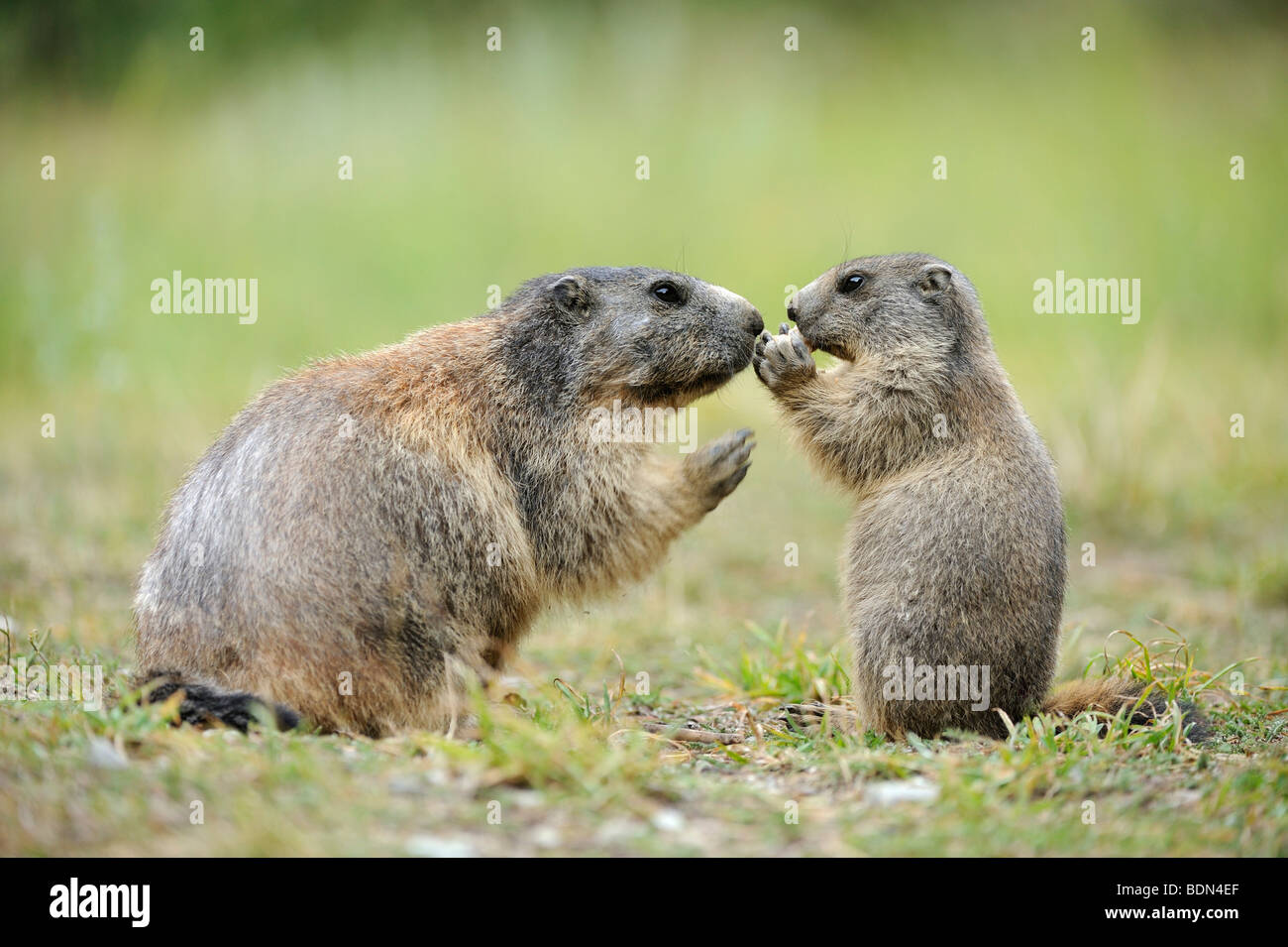 Alpine marmot (Marmota marmota) with young begging for food - Stock Image