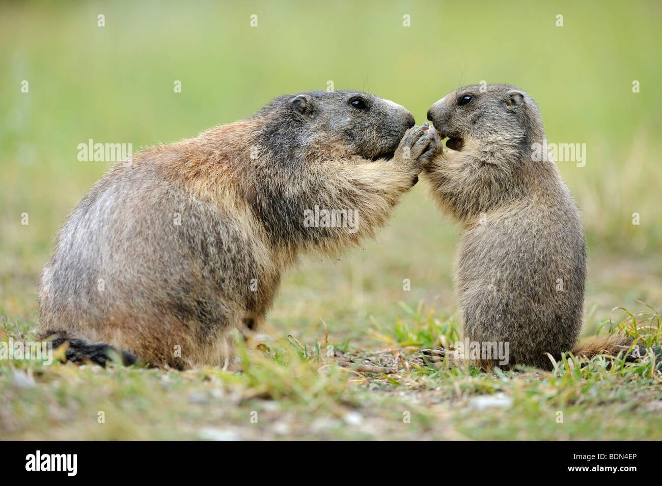 Alpine marmot (Marmota marmota) with young begging for food - Stock Image