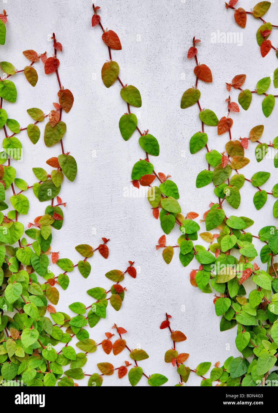 Climbing vine on white wall. Los Angeles, CA - Stock Image