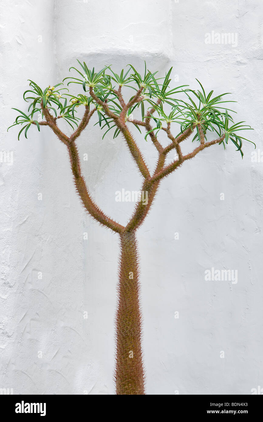 Pachypodium lamerei growing next to white wall. Los Angeles, CA - Stock Image