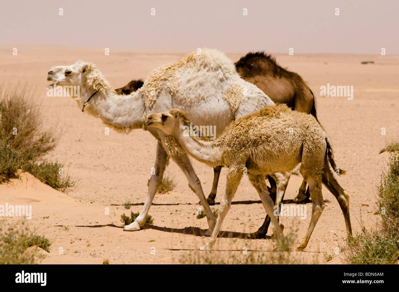 syrian desert stock photos syrian desert stock images alamy