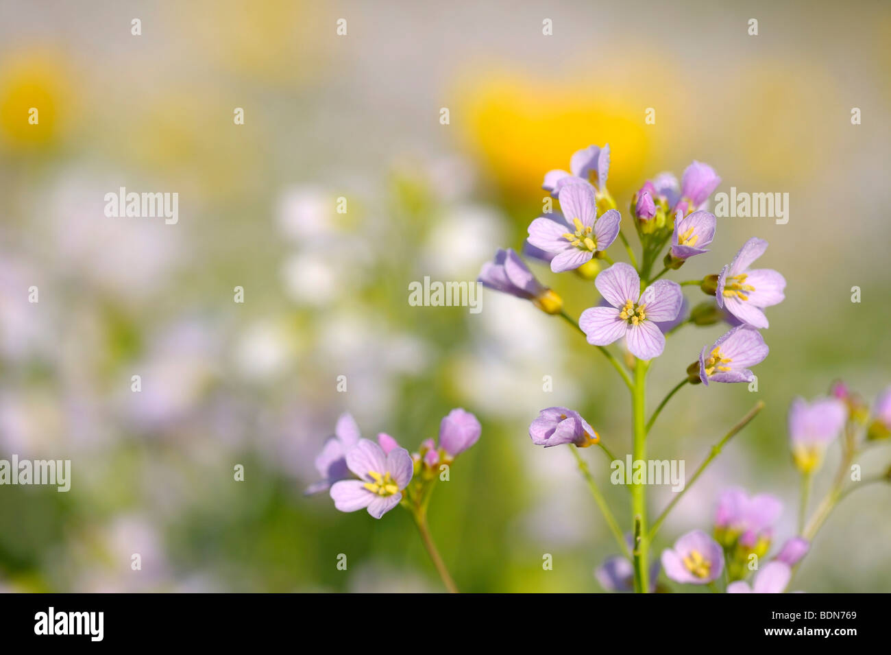 Cuckoo Flower (Card amines pratensis) on a spring meadow Stock Photo
