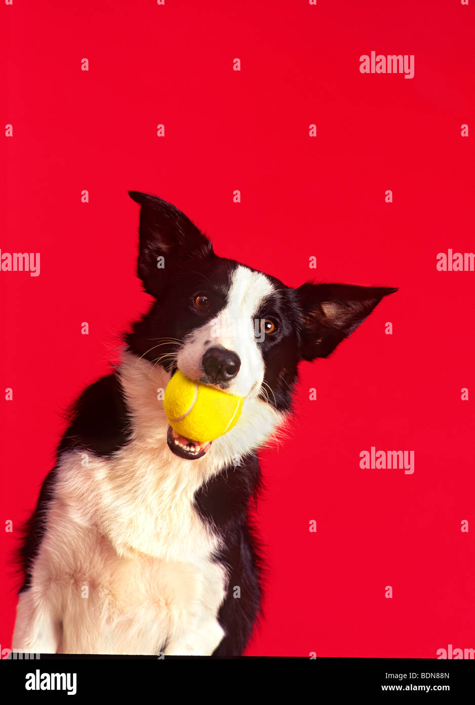 Dog 'holding tennis ball' in mouth - Stock Image