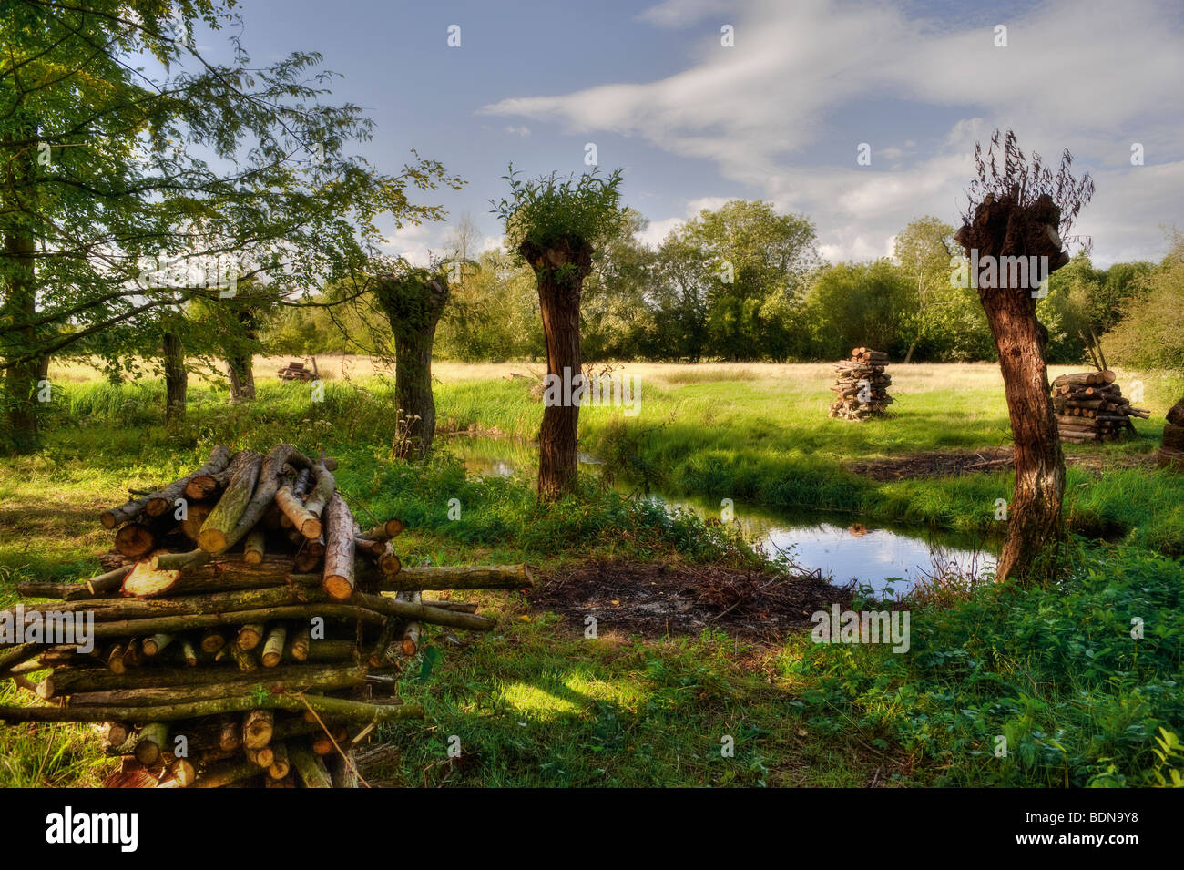 Willows recently pollarded with log stacks by a river - Stock Image
