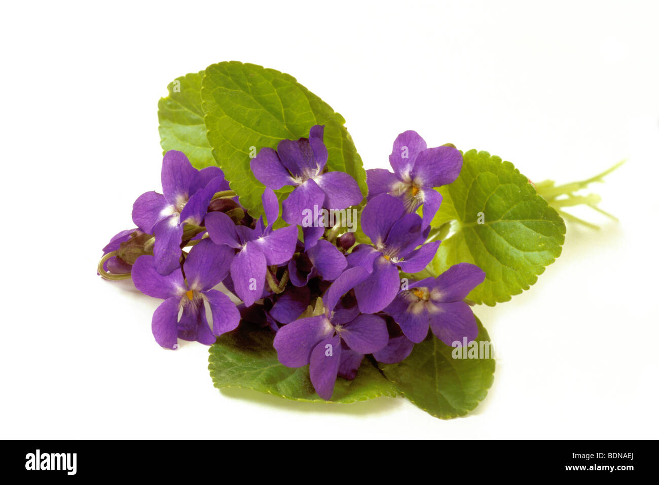 Sweet Violet (Viola odorata), bunch, bouquet, studio picture. - Stock Image