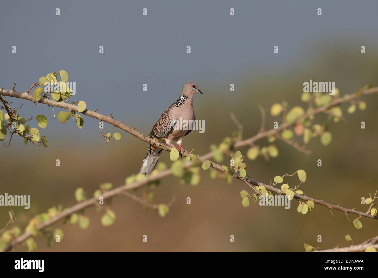 Spotted Dove (Streptopelia chinensis) also known as the Spotted Turtle Dove photographed in Sri Lanka - Stock Image