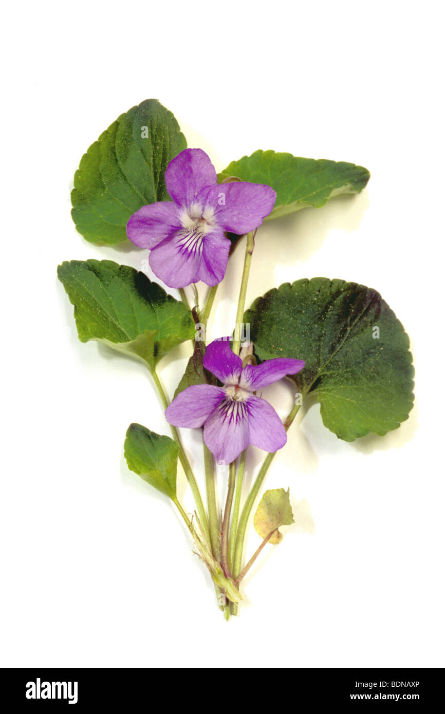 Common Dog Violet (Viola riviniana), flowering plant, studio picture. - Stock Image