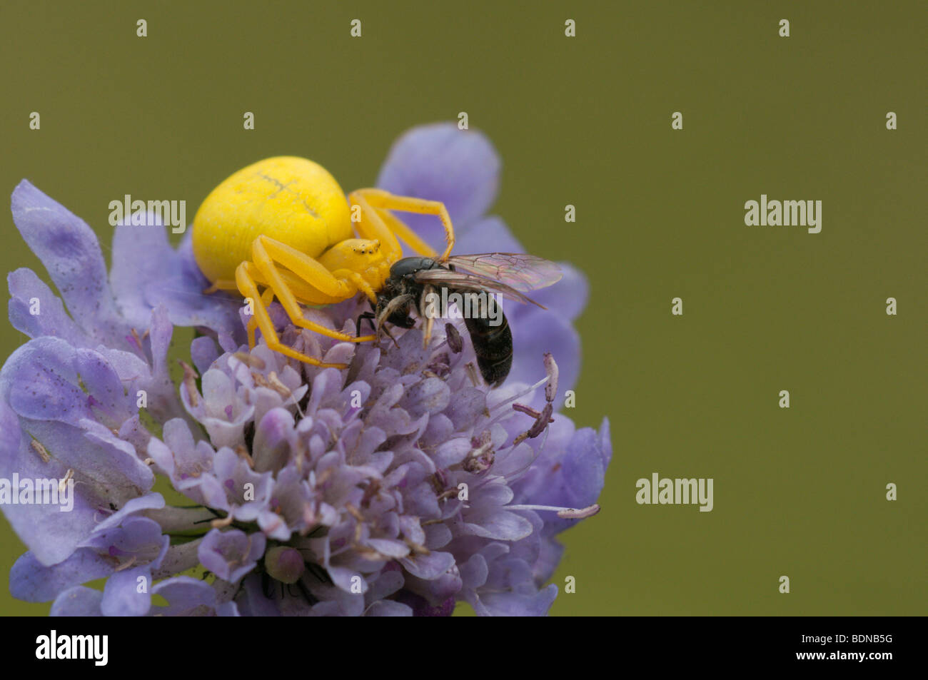Goldenrod Crab Spider (Misumena vatia) with prey on a Field Scabious flower. - Stock Image