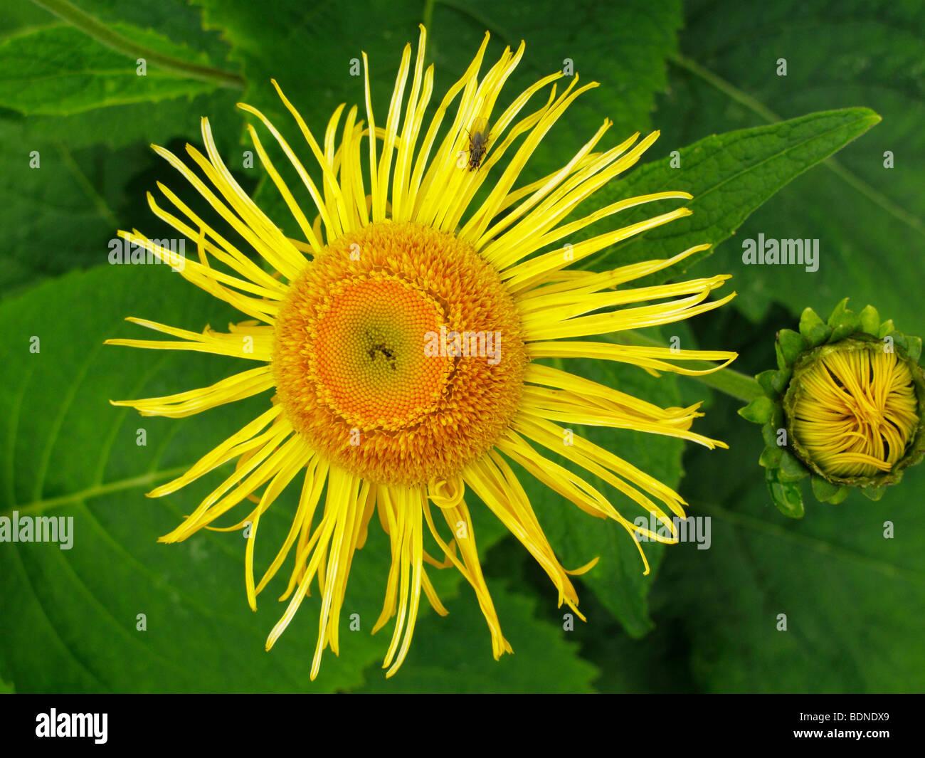 Elecampane, Horse-heal or Marchalan (Inula helenium), medicinal plant Stock Photo