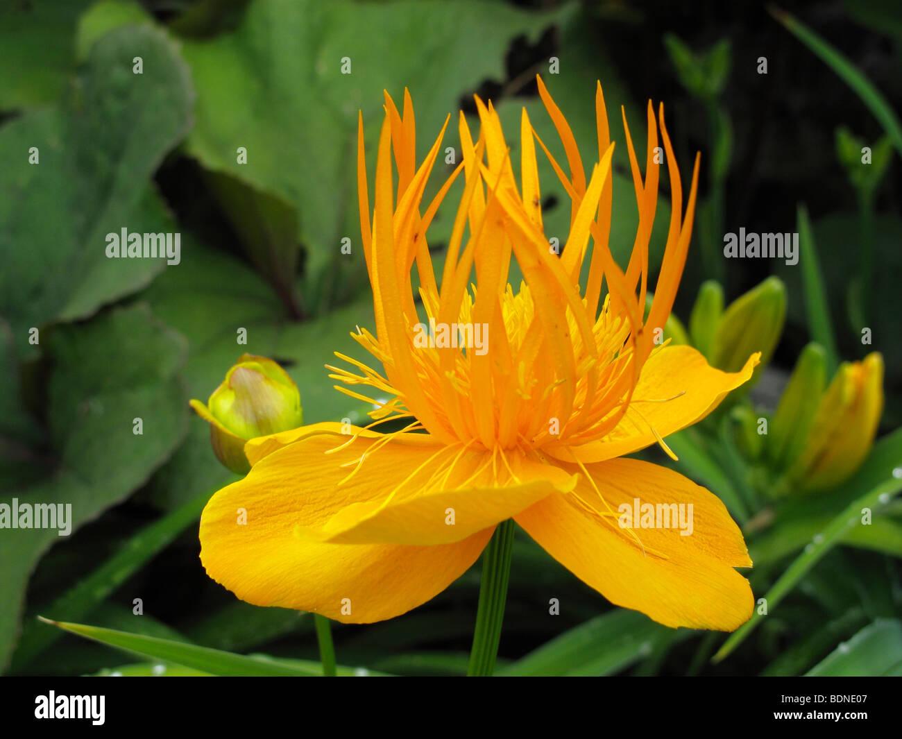 Chinese globe flower (Trollius chinensis) - Stock Image