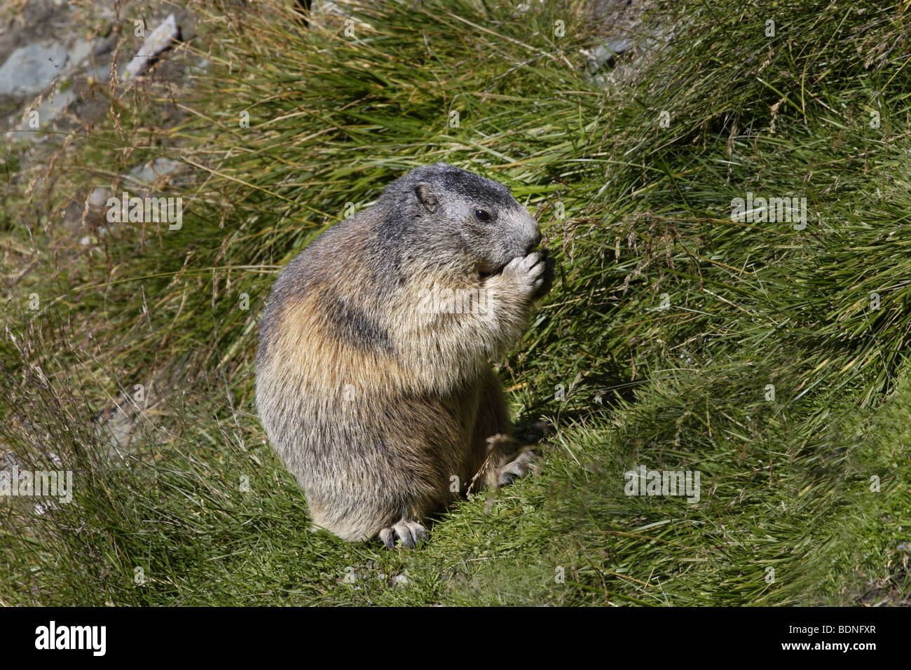 Alpenmurmeltier (Marmots marmota) alpine marmot - Stock Image