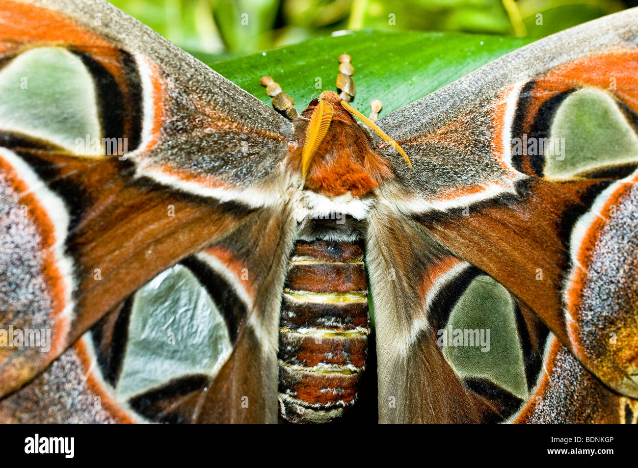Atlas moth - close-up of the largest moth in the world - Stock Image