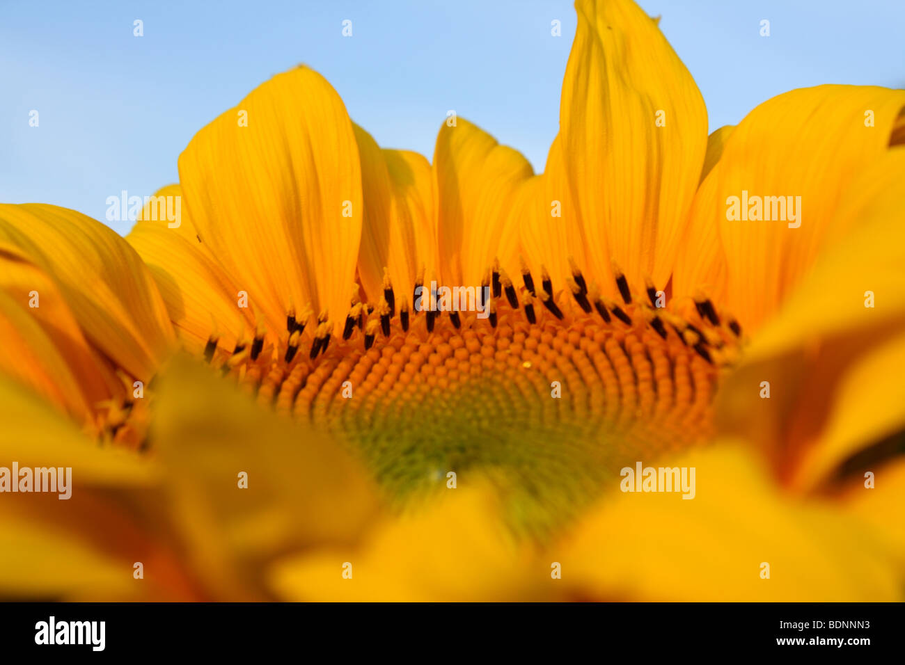 Sunflower flower, 2009 - Stock Image