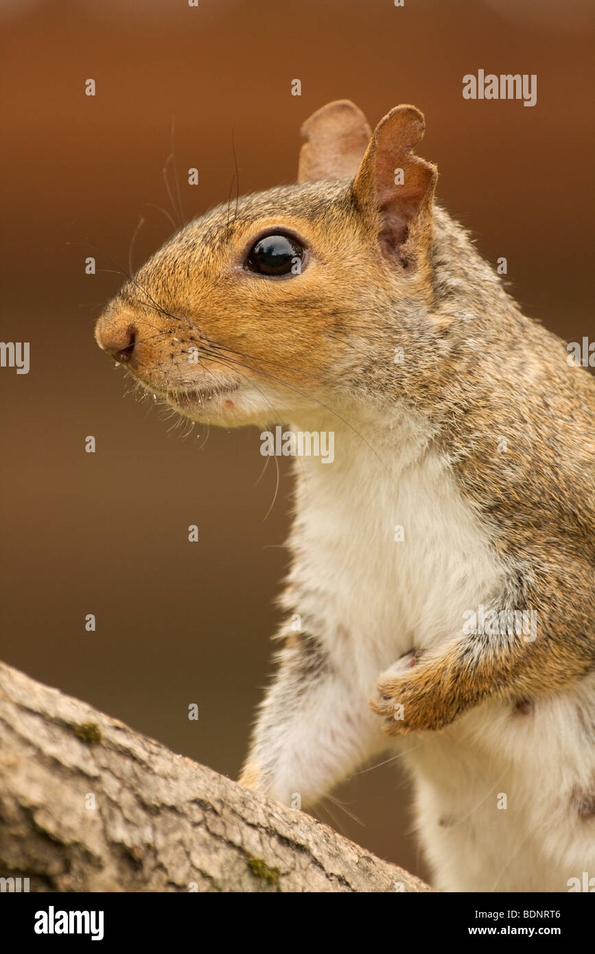 close-up of female grey squirrel with damaged ears - Stock Image