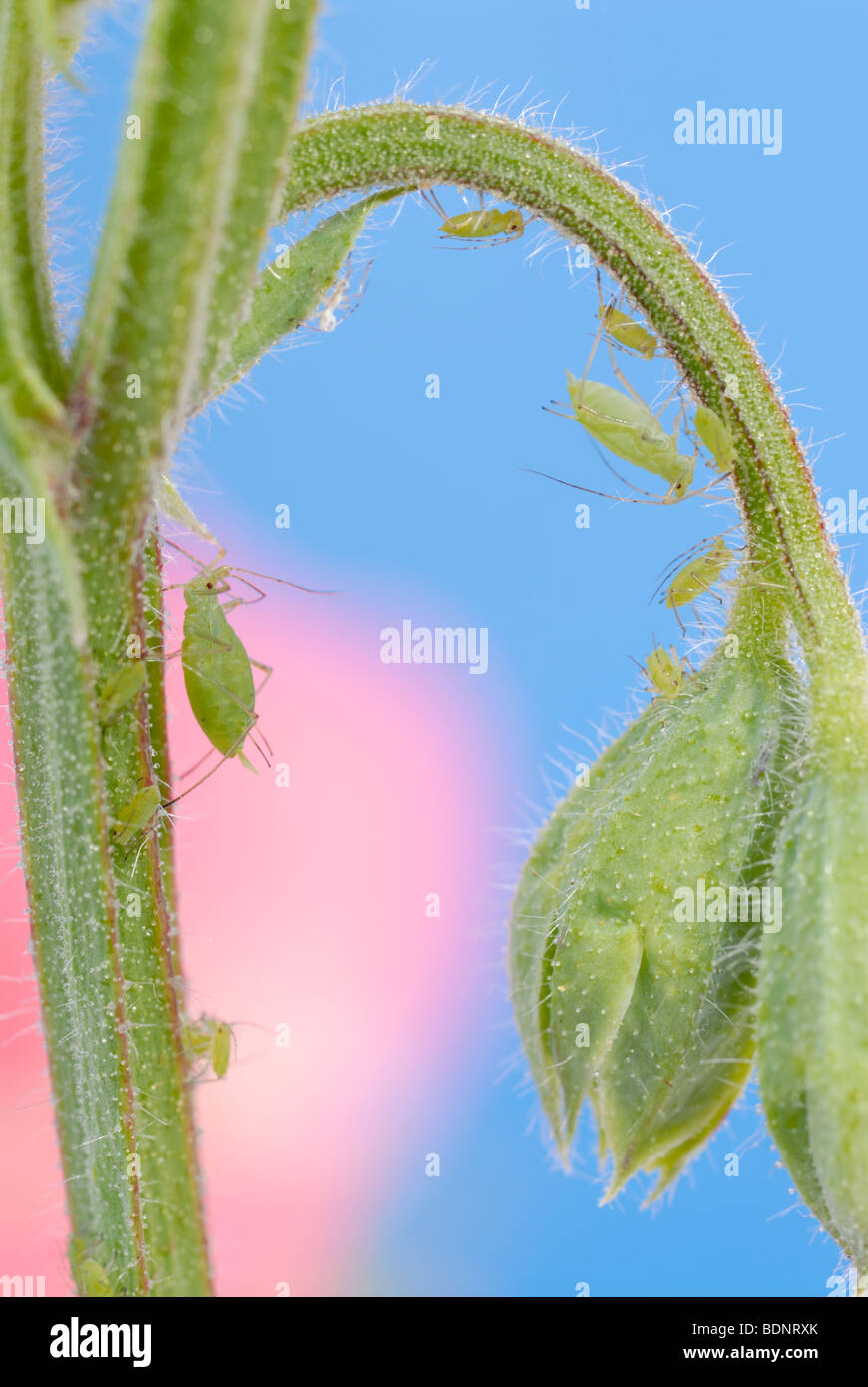 Greenfly aphids on Sweet pea - Stock Image