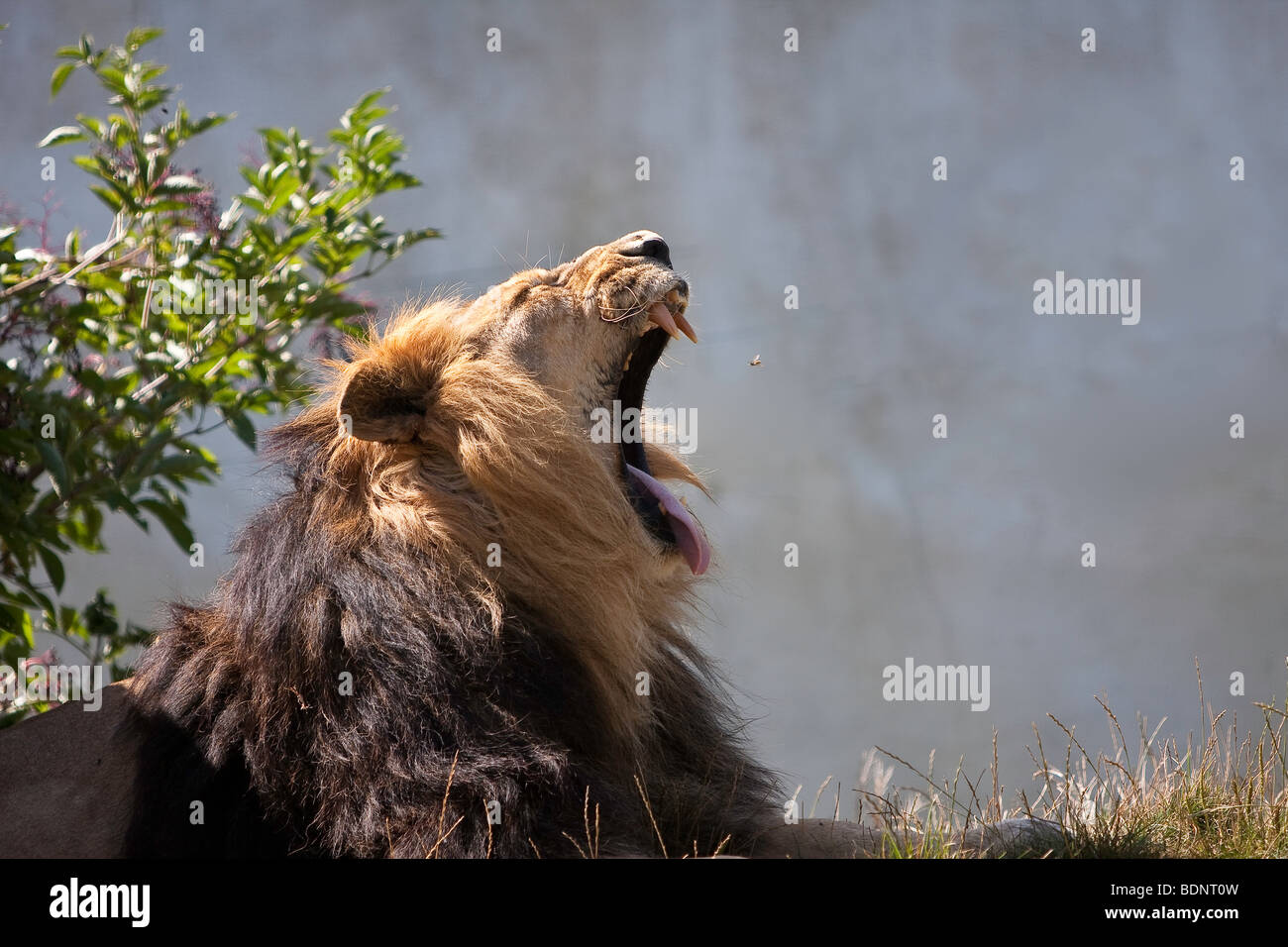 Male Lion yawning, Catching flys. - Stock Image