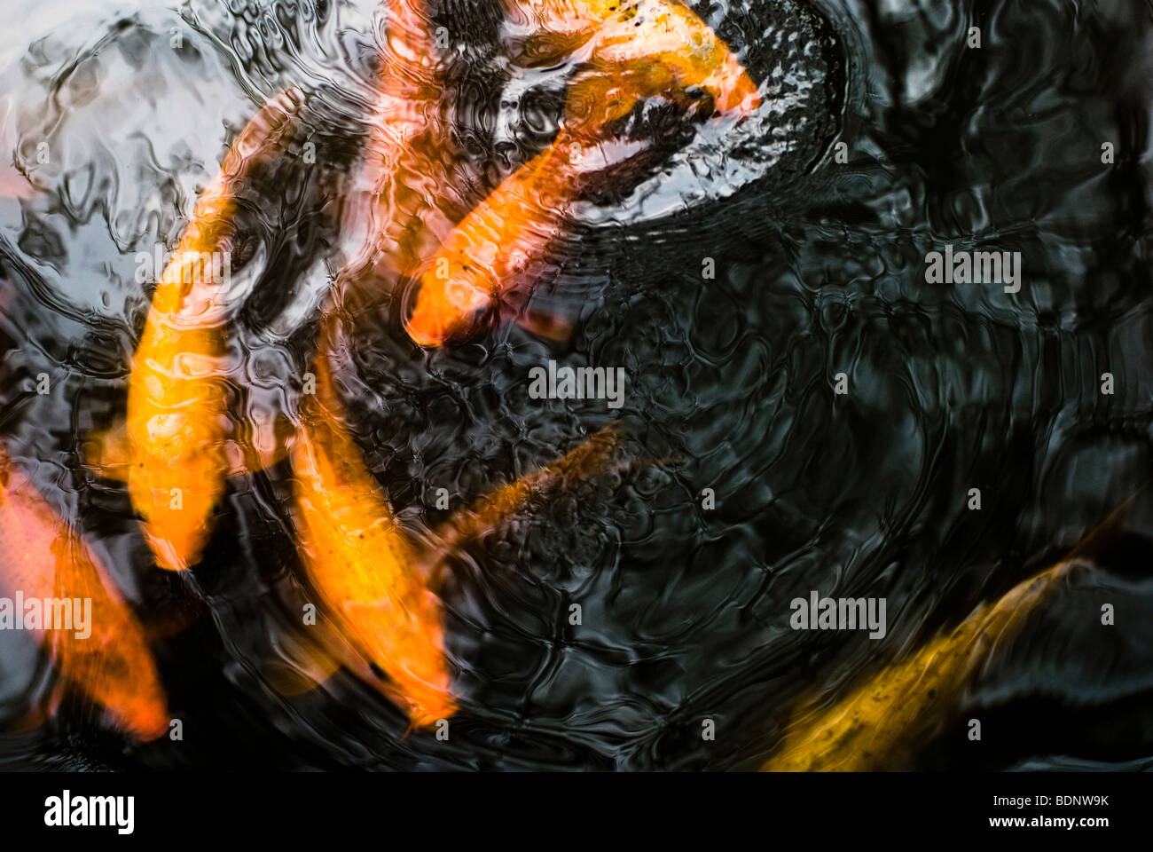 Golden Koi carp swimming in a pond - Stock Image