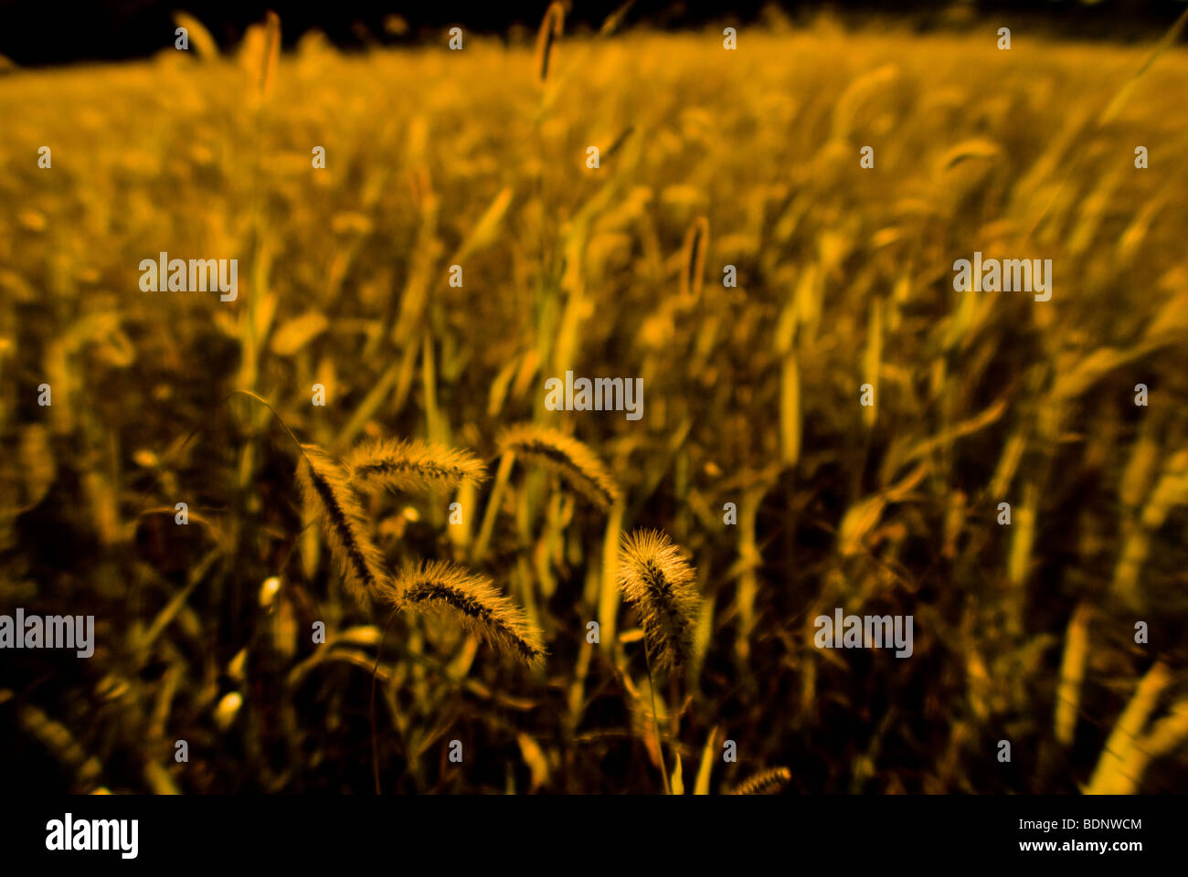 Golden grass - Stock Image